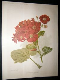 Amateur Gardening 1896 Botanical Print. Greenhouse Cineraria